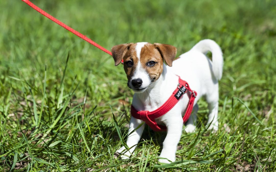 Best Dog Harness Canada